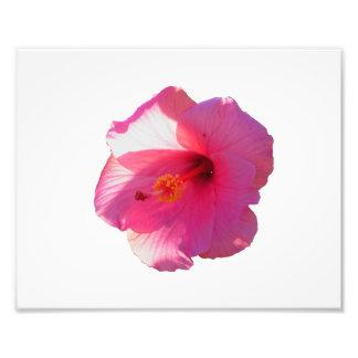 imagen rosada de la flor del hibisco impresiones fotográficas