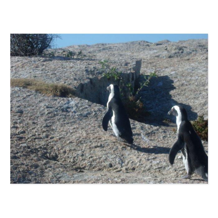 Images of Cape Town Boulders Beach Postcard
