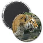 Imán abierto de la boca del tigre