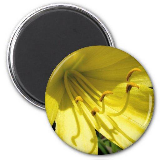 Imán amarillo del Daylily