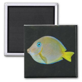 Imán amarillo y azul de los pescados
