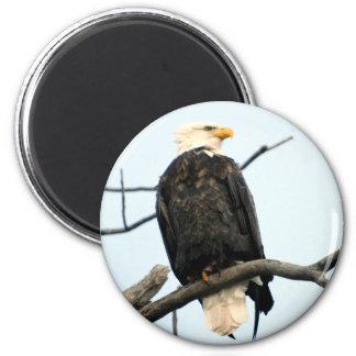 Imán americano de Eagle calvo
