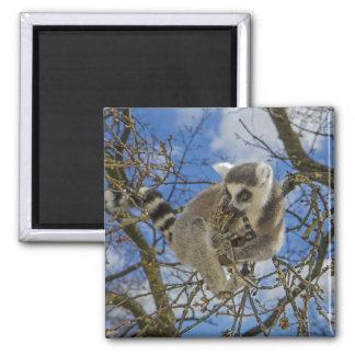 imán Anillo-atado del lemur