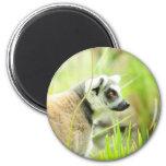 Imán - anillo del lemur atado