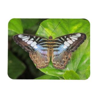 Imán azul de la mariposa de las podadoras