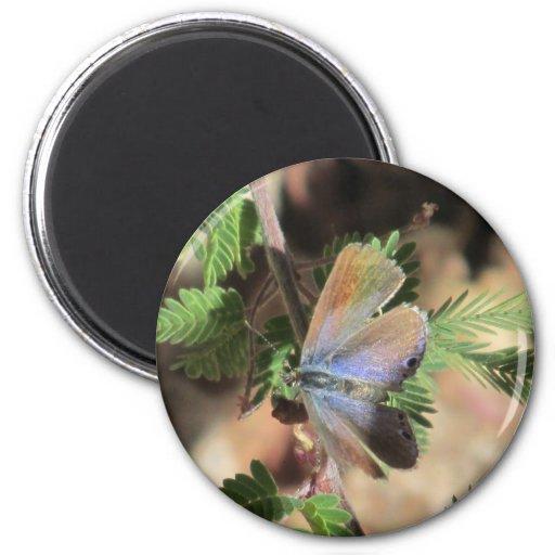 Imán azul de la mariposa de Reakirt