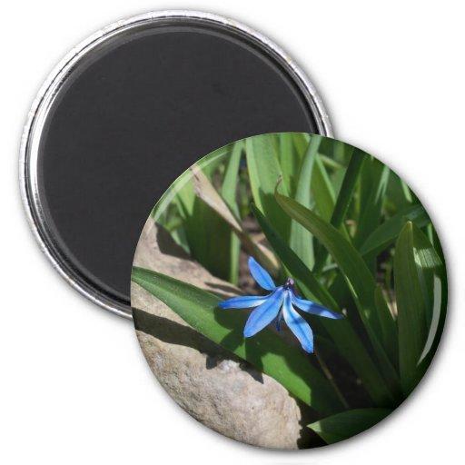Imán azul solitario de la flor