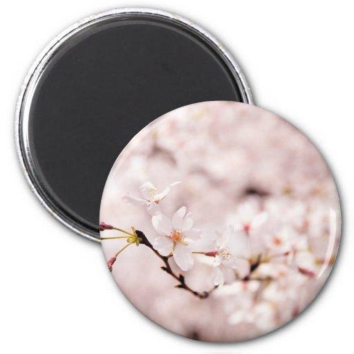 Imán blanco de Bokeh de la flor de cerezo