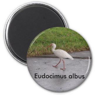Imán blanco de la fauna del albus de Ibis Eudocimu