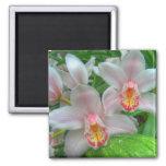 Imán blanco y rosado de las orquídeas