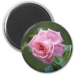 Imán color de rosa rosado hermoso del refrigerador