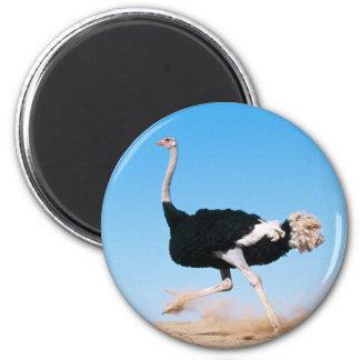 Imán corriente de la avestruz