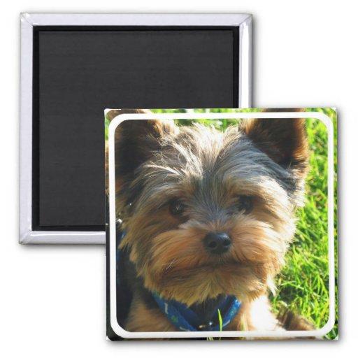 Imán cuadrado de Yorkshire Terrier