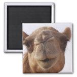 Imán cuadrado del camello