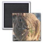 Imán cuadrado del conejo