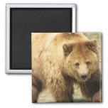 Imán cuadrado del oso grizzly