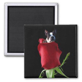 Imán de Boston Terrier del rosa rojo