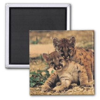 Imán de Cubs de tigre