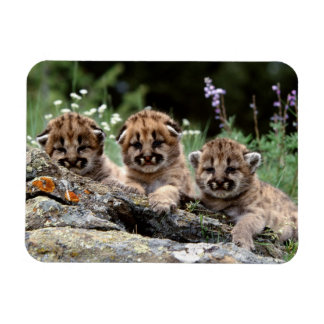 Imán de Cubs del puma