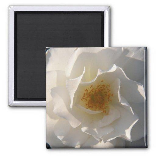 Imán de fascinación del rosa blanco