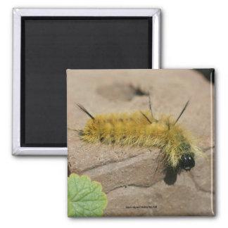 Imán de la foto de la naturaleza de Caterpillar de