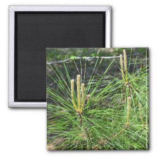 Imán de la foto de las agujas del pino