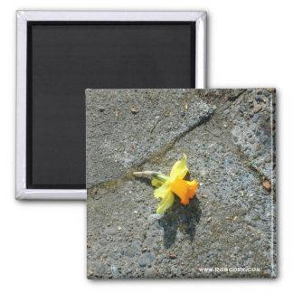 Imán de la fotografía del narciso
