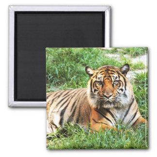 Imán de la fotografía del tigre de Bengala