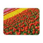 Imán de la impresión de los tulipanes de la primav