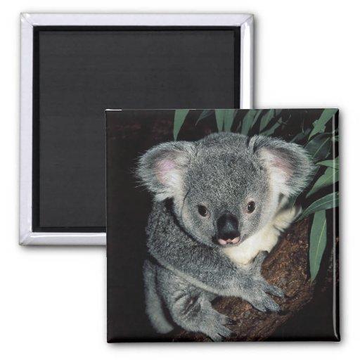 Imán de la koala
