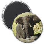 Imán de la natación del elefante (elefante african
