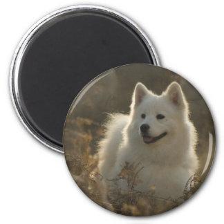 Imán de la raza del perro del samoyedo