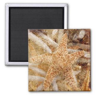 Imán de las estrellas de mar