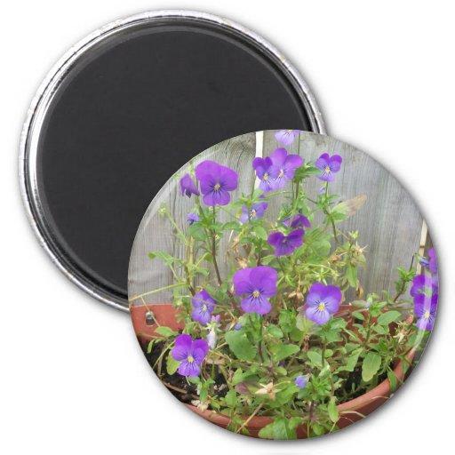 Imán de las violetas
