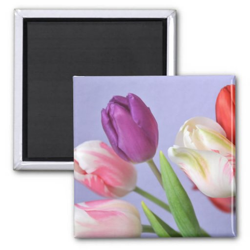 Imán de los tulipanes de la primavera