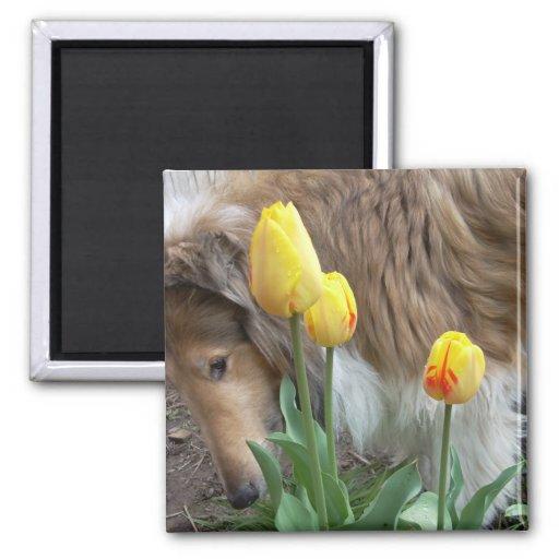 Imán de los tulipanes del collie N