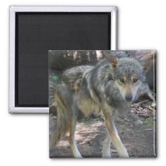 Imán de vagabundeo del lobo