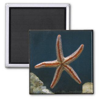 Imán del amor de las estrellas de mar