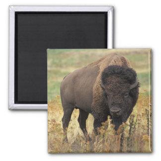 Imán del bisonte americano
