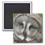 Imán del búho de gran gris