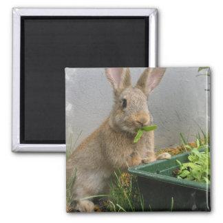 Imán del conejo de conejo de rabo blanco