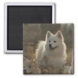 Imán del cuadrado de la raza del perro del samoyed