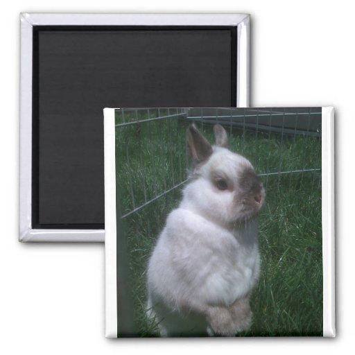Imán del cuadrado del conejo de conejito