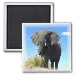 Imán del cuadrado del elefante africano