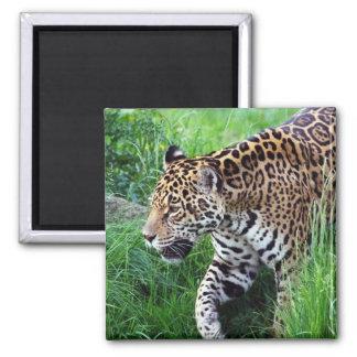 Imán del cuadrado del hábitat de Jaguar