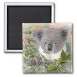 Imán del cuadrado del oso de koala