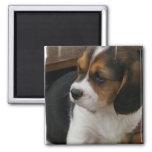 Imán del cuadrado del perrito del beagle