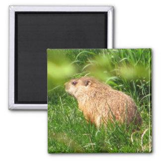 Imán del ~ de la marmota