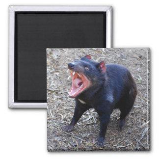 Imán del diablo tasmano