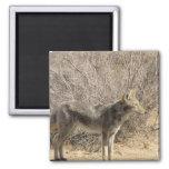 Imán del diseño del coyote